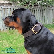 *Herman in His New 2 Ply Leather Rottweiler Collar for Training and Walking