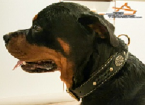 Rottweiler Looks Absolutely Gorgeous in Braided Leather Dog Collar