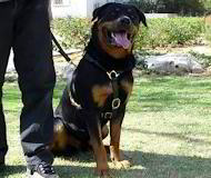 Luxury handcrafted dog harness- Rottweiler dog