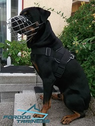 Rottie Strutting in His Wire Cage Muzzle- Lightweight & Comfortable Construction