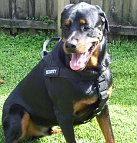Rottweiler Savage looking good in better control everyday all weather dog harness - H17