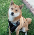 Adonis proudly presents Agitation / Protection / Attack Leather Dog Harness