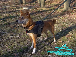 *Kaede Grey Likes Her Nylon Dog Harness for Shiba Inu Daily Activity