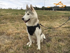 Multifunctional Nylon Siberian Husky Harness for Gorgeous *Jimmy