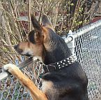*Smokey looks fantastic wearing 3 Rows Leather Spiked Dog Collar on - S44