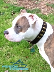*Comp Pitbull in Awesome Leather Dog Collar Looks Super