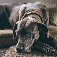 Charming *Gracie Showing off in FDT Artisan Tan Leather Great Dane Collar
