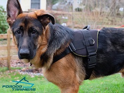 *Theo in Multifunctional Nylon Harness - Best Harness for German Shepherd