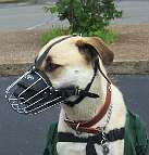 Tonka is happy about wearing his Basket Dog Muzzle (All Sizes)