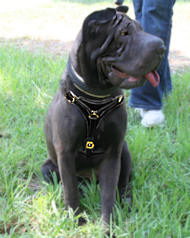 Sharpei Tracking Walking leather dog harness to fit Shar-Pei