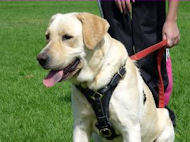 Tracking Walking leather dog harness- Labrador Retriever harness