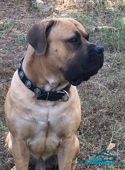 Boerboel Triton Wears Proudly Exclusive Leather Dog Collar from FDT