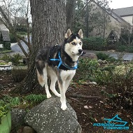 *Ryker Sporting his Universal Nylon Harness for Siberian Husky