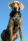 Amigo wearing Training Handcrafted Padded Leather Dog Harness H10