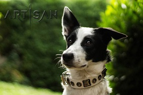 *Punky Presenting White Studded Leather Border Collie Collar from FDT Artisan