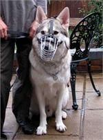 Echo wearing our exclusive Wire Basket Dog Muzzles Size Chart muzzle - White German Shepherd M4light