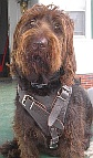 *Winston Labradoodle looking gorgeous in his new Leather Dog Harness H1