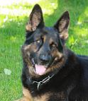 German Shepherd Xander looking Gorgeous in our STAINLESS STEEL FUR SAVER - 51604(55) ( Made in Germany )