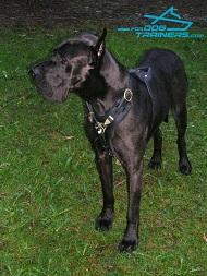 *Trigger Engoys Wearing Padded Leather Great Dane Harness