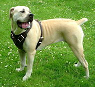 Agitation / Protection / Attack Dog Harness Perfect For Your Boerboel Mastiff H1