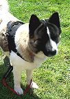All Weather Nylon dog harness for tracking / walking Designed to fit Akita - H6 [H6###1073 Nylon dog harness Akita*]