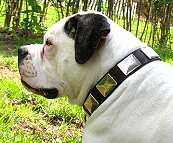 Gorgeous *Lola is wearing our War Dog Leather Dog Collar - Like in the movies - c83
