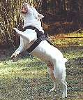 All Weather dog harness for tracking / pulling Designed to fit american bulldog- H6