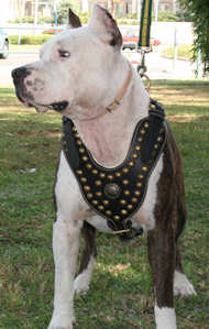 Fashion Adjustable Leather Dog Harness for Amstaff Daily Walking and Training