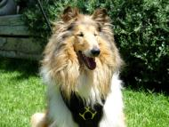 Exclusive Luxurious Handcrafted Padded Leather Dog Harness Perfect for your Collie H10
