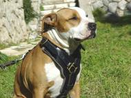 Exclusive Luxurious Handcrafted Padded Leather Dog Harness Perfect for your Amstaff H10
