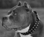 "Exclusive ""Caterpillar"" Design Leather Dog Collar for Pitbulls"