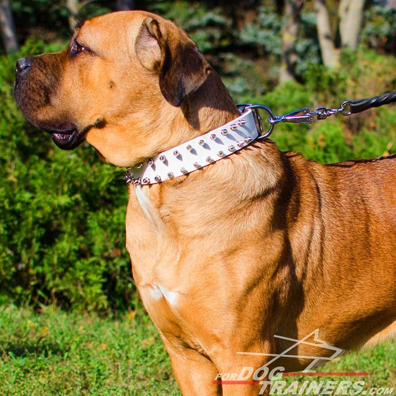 """White Rose"" Leather Cane Corso Collar with Nickel Spikes"