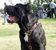 Luxury handcrafted dog harness- Cane corso