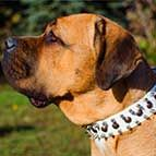 Spiked and Studded White Leather Cane Corso Collar for Walking