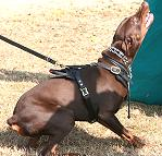Exclusive Luxurious Handcrafted Padded Leather Dog Harness Perfect for your Doberman H10_1