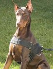 All Weather Nylon dog harness for tracking / walking Designed to fit Doberman - H6