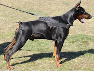 Nylon multi-purpose dog harness for tracking/pulling Doberman