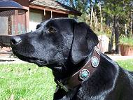 *Jane looks great in our Gorgeous Wide Brown Leather Dog Collar - Fashion Exclusive Design