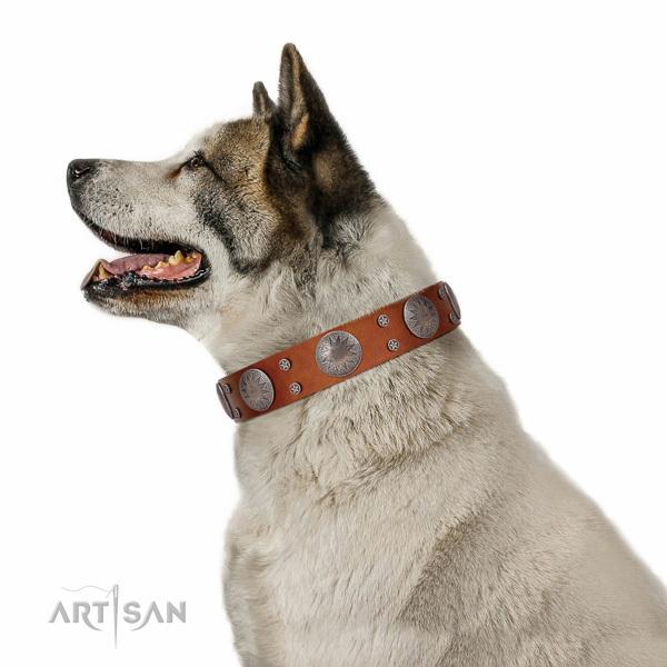 Extraordinary walking tan leather Akita Inu collar with