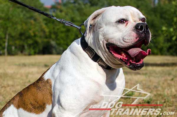 American Bulldog Collar with Plated Strap