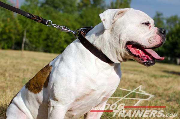 Leather Collar for American Bulldog Breed