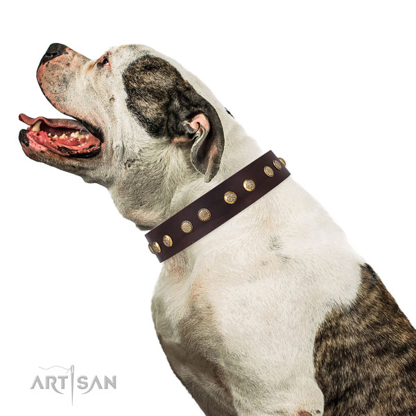 American Bulldog comfortable wearing dog collar of trendy natural leather