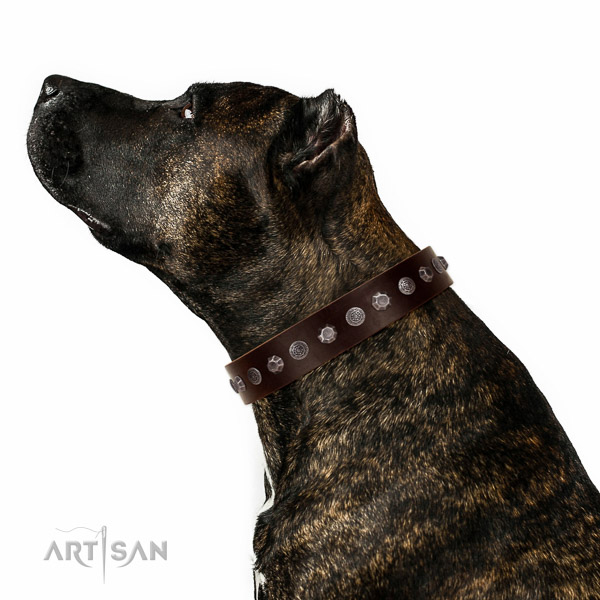 Extraordinary walking brown leather Amstaff collar with chic decorations