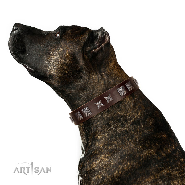 Extraordinary walking brown leather Amstaff collar with modern decorations