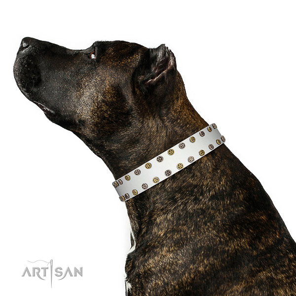 Designer leather Amstaff collar has amazing look