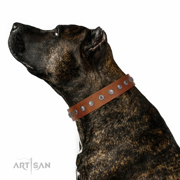Extraordinary walking tan leather Amstaff collar with chic decorations