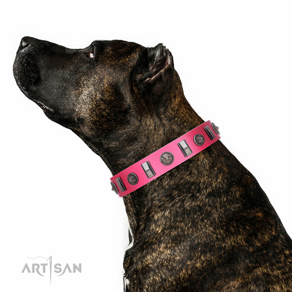 Decorated leather Amstaff collar for comfortable walking