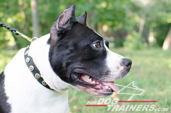 Leather Amstaff Collar for training