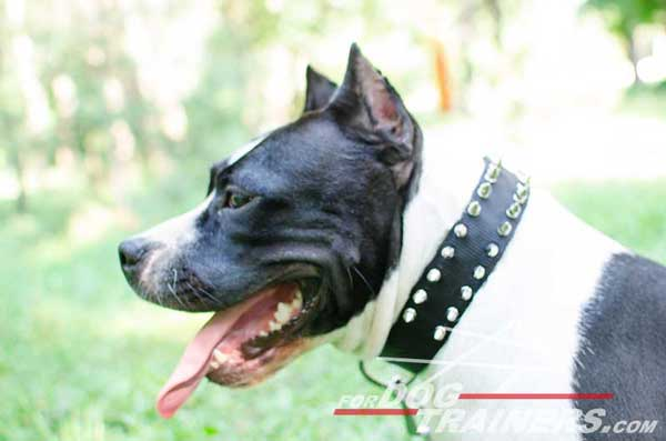 Leather Spiked Amstaff Collar Nickel Decorated