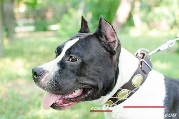 Amstaff Collar Leather Handcrafted Walking Dog Gear